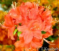 Rhododendron Fireball