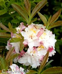 Rhododendron Jack A. Sand